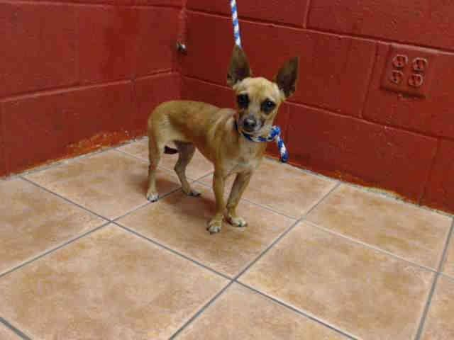 PLEDGES AND RESCUE NEEDED! A4816886 My name is Marilyn and I'm an approximately 2 year old female chihuahua sh. I am not yet spayed. I have been at the Downey Animal Care Center since April 10, 2015. I will be available on April 14, 2015. You can visit me at my temporary home at D529. https://www.facebook.com/photo.php?fbid=851644291582571&set=pb.100002110236304.-2207520000.1429042109.&type=3&theater