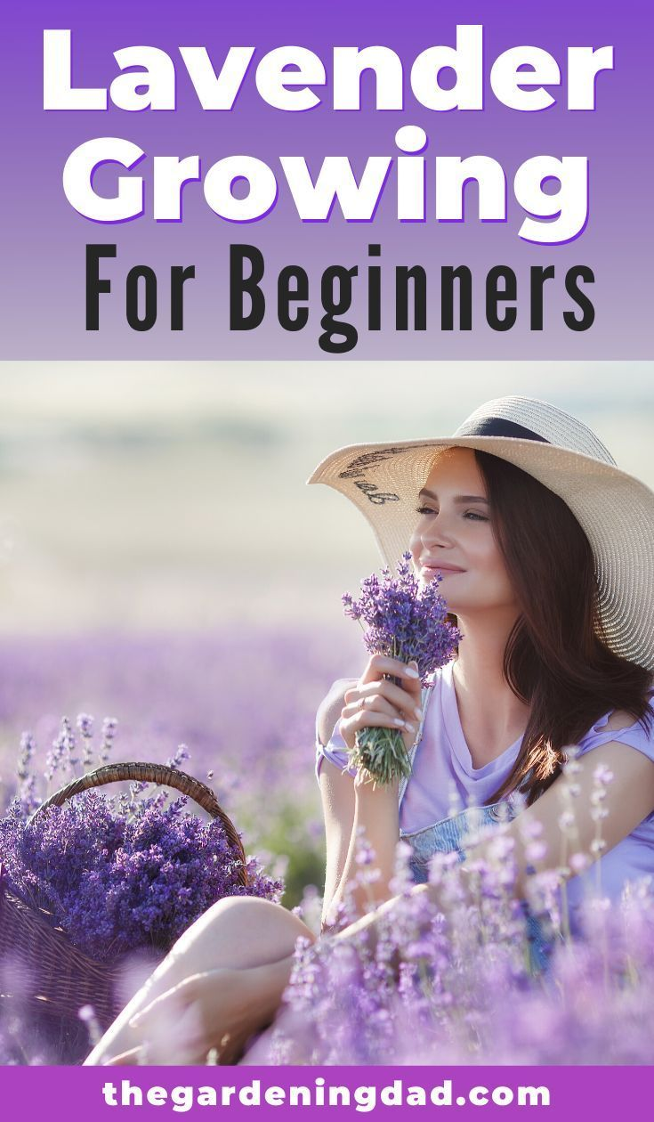 How to grow lavender from seed 5 simple tips growing