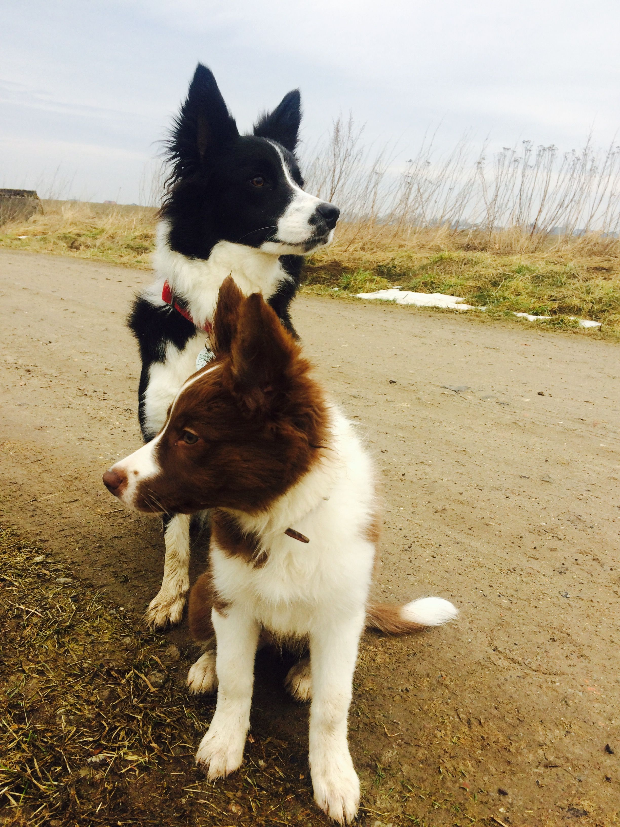 Pin By Alex On Border Collie Mad Border Collie Dogs Puppies