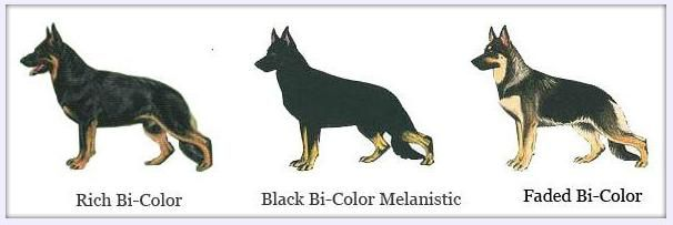Gsd Colors With Images German Shepherd Dogs Shiloh Shepherd