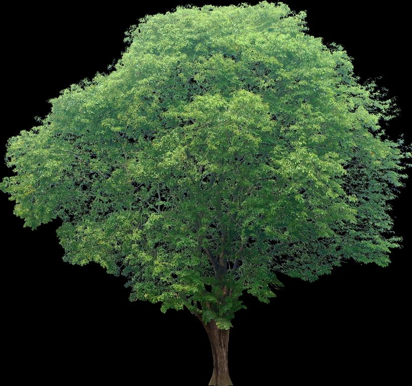 20 Free Tree Png Images Pterocarpus02l Png 820 769 Pohon Tanaman Arsitektur