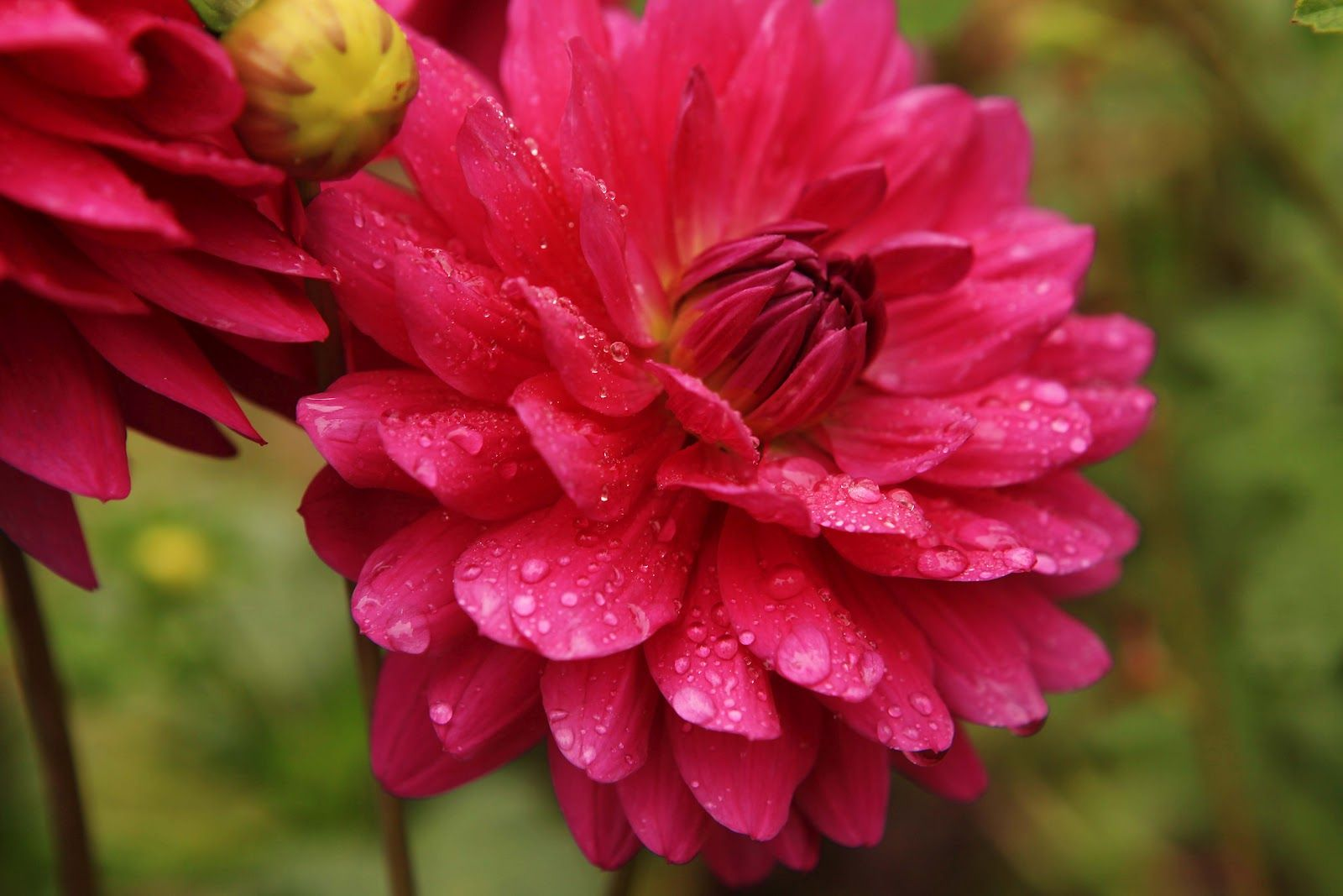 French Larkspur: Monet\'s Garden | Les Fleurs | Pinterest | Gardens ...