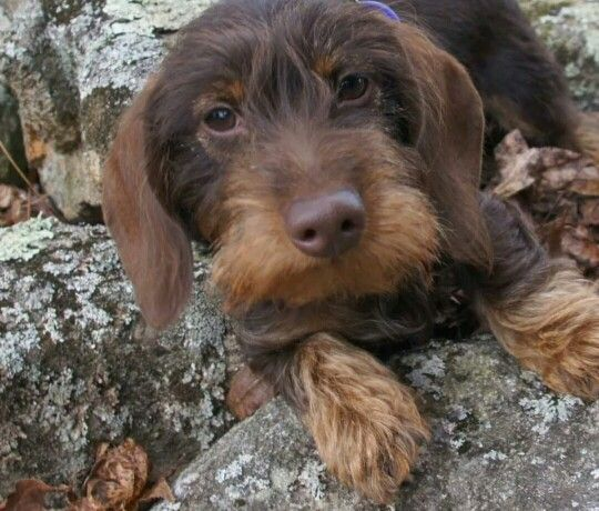 Chocolate And Tan Wire Hair Dachshund Wire Haired Dachshund