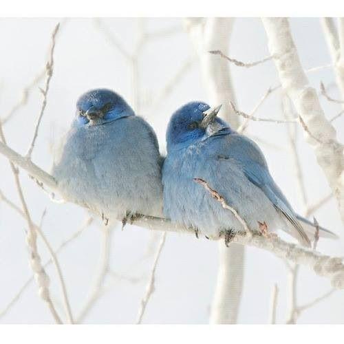 Lovely blue birds.