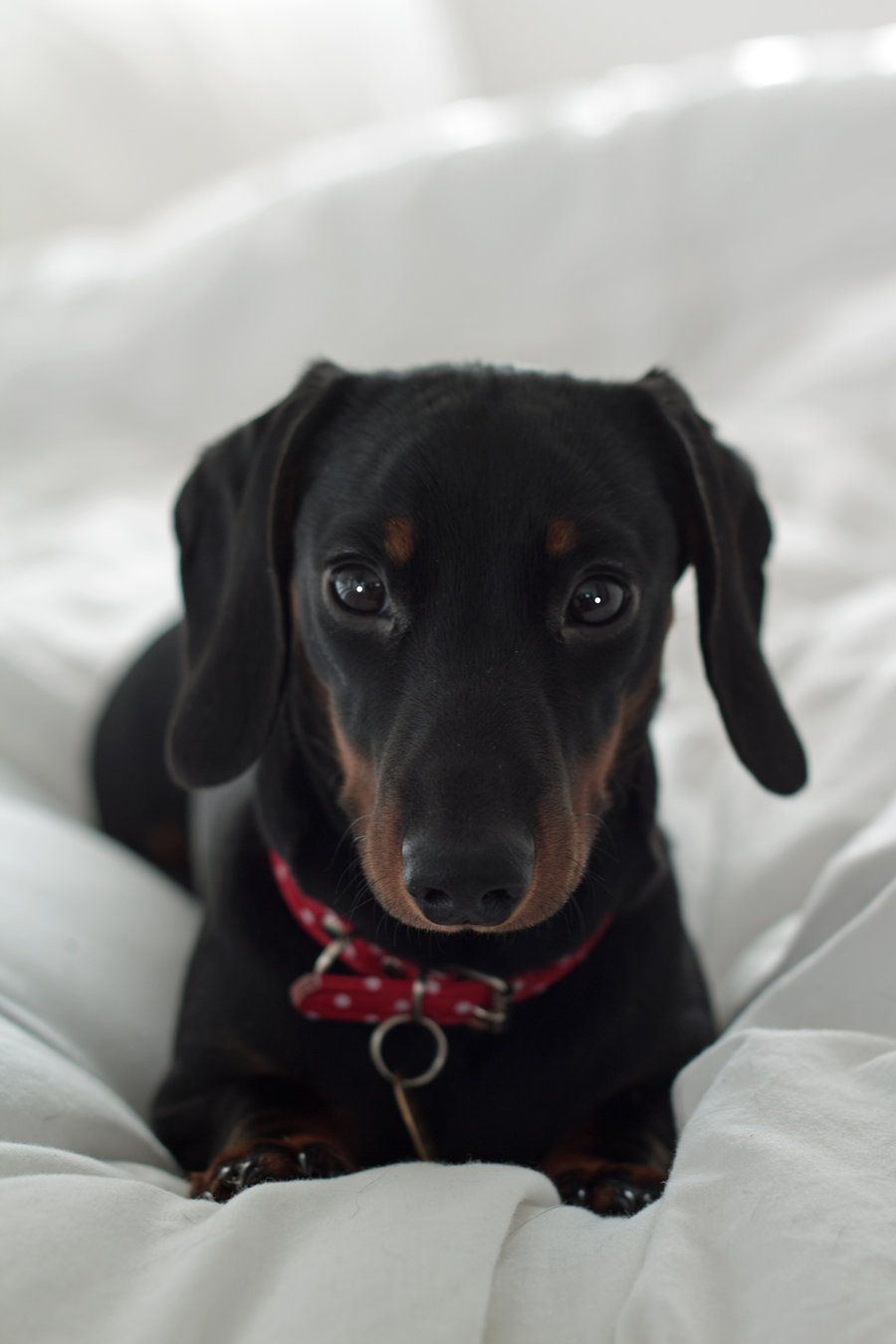 Mwehehehe And This Is Why I Have Two Dachshunds So Cute Black