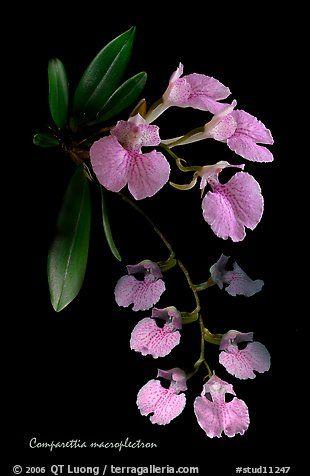 Orchid: Studarettia [Synonym: Comparettia] macroplectron