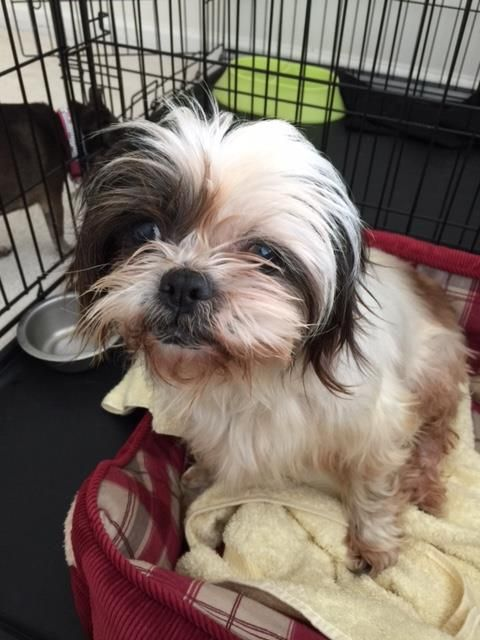 Found Dog Shih Tzu Conyers Ga United States 30094 On