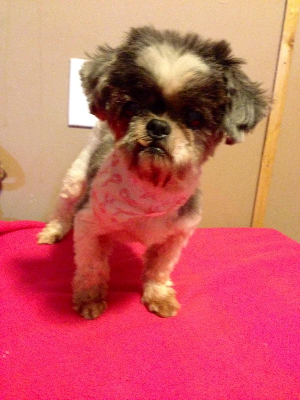 Honey Shake Is A 10 Year Old Female Shih Tzu Mix Looking For Her
