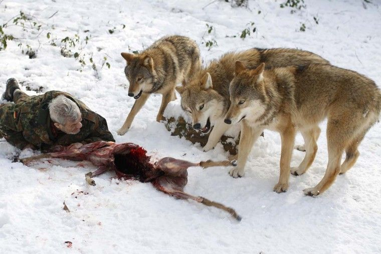 A man and his wolf pack | Wolves | Wolf, Wild dogs, Wolf stuff