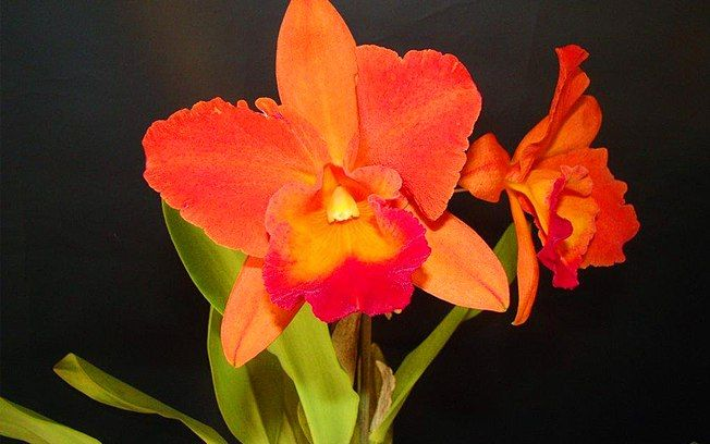 Orquídea da espécie Slc. Tropical Flare Magic Fire