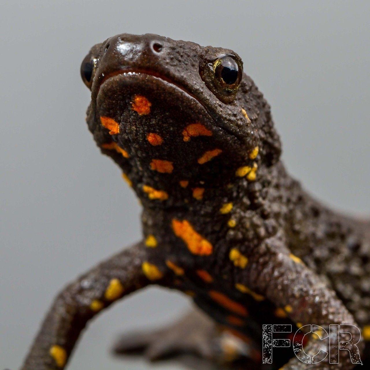 Chinese Warty Newts Newt, Amphibians, Salamander