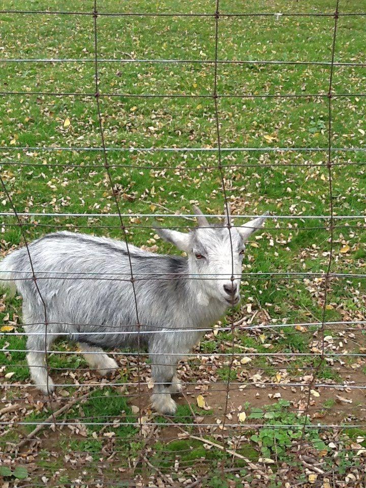 Little goat....awe!