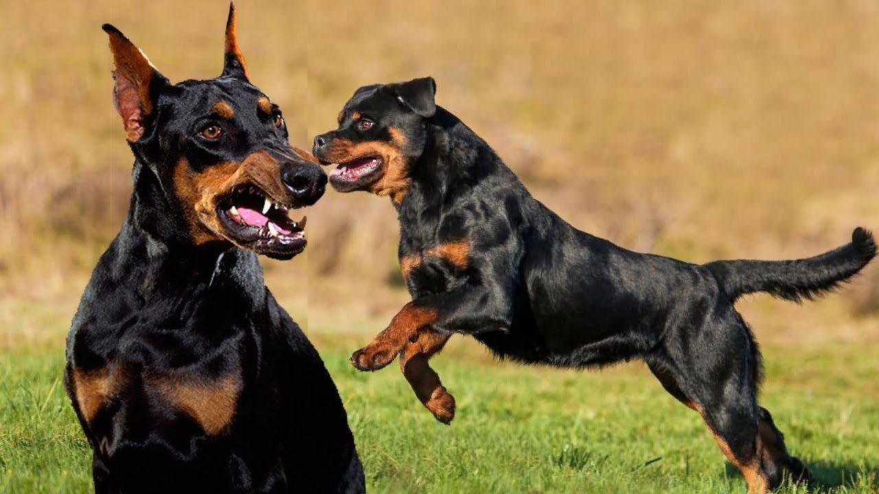 Doberman Vs Rottweiler Rottweiler Vs Doberman Comparison