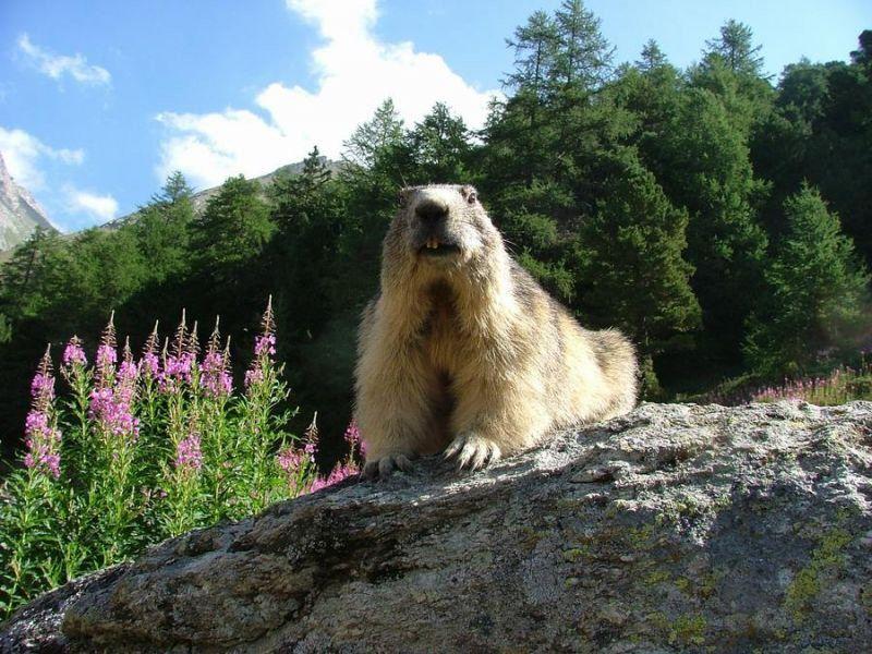 Ami Daniel 04 Jpg Marmotte Peuple Aborigene Photo Montagne