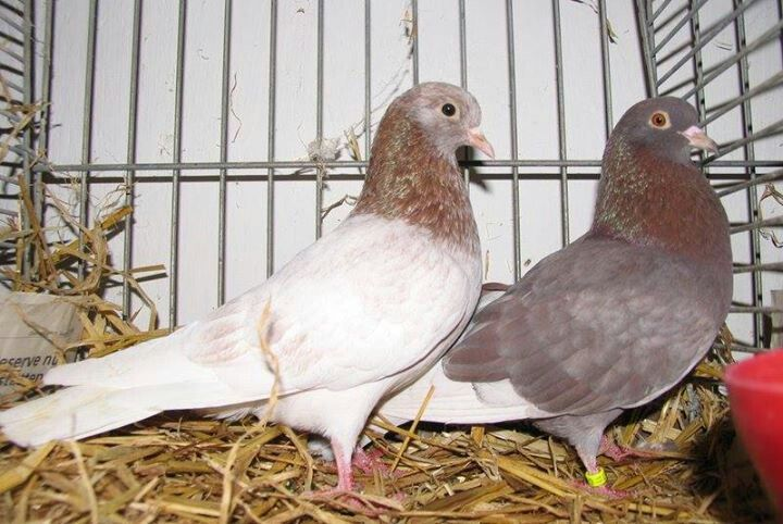 Pin By David Viele On Pigeons And Pigeon Coops Diy Pillows Pigeon Bird