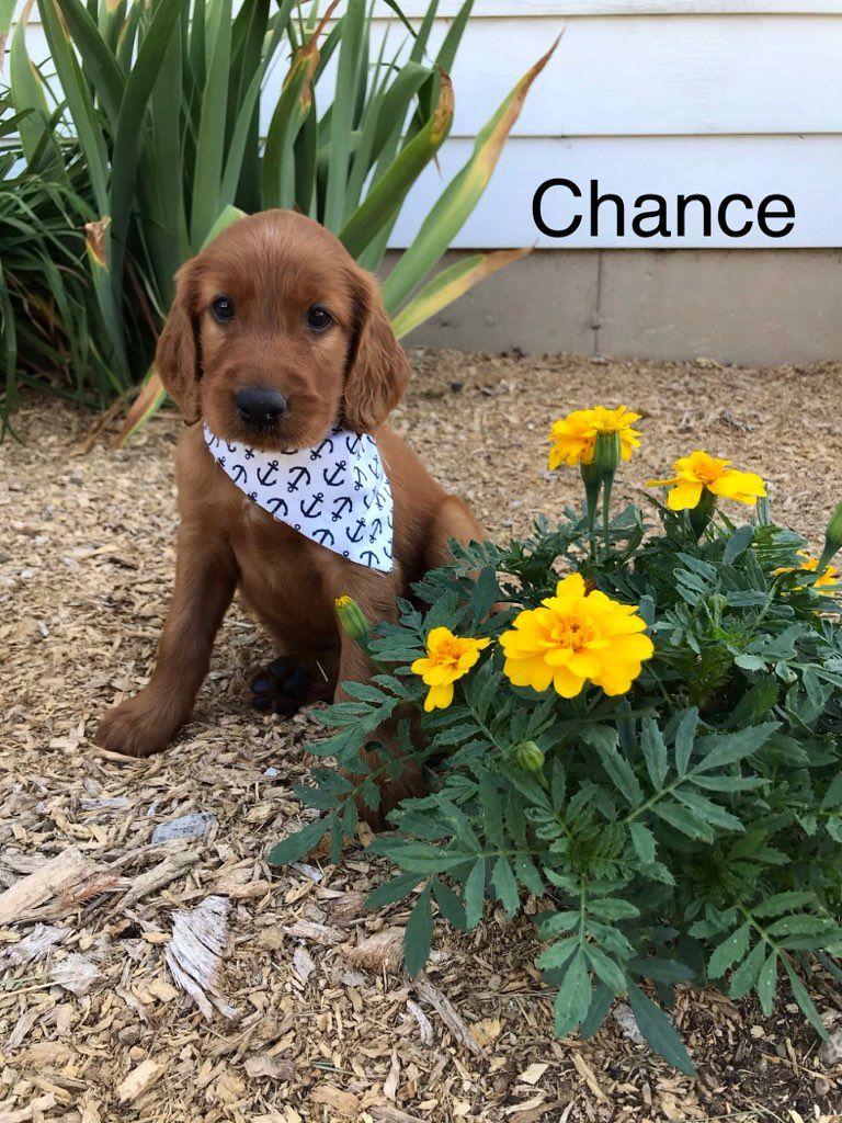 Chance in 2020 puppies irish setter puppy puppy adoption