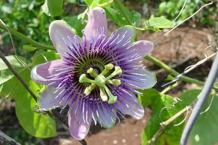How To Make Passion Flower Tea Passion Fruit Flower Passion Flower Passion Flower Tea