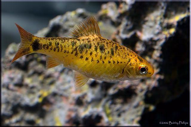 Puntius Sachsii Gold Barb Tropical Fish Tanks Tropical Freshwater Fish Tropical Fish