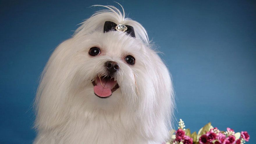 Maltese Breed Information Maltese Dogs Maltese Dogs