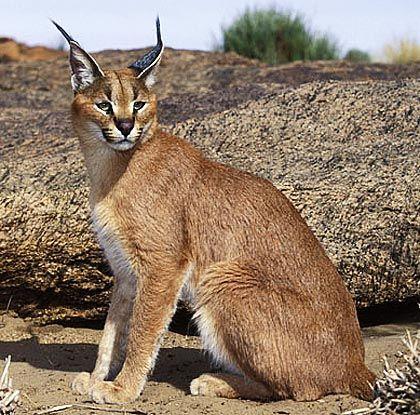 Cats Felidae Ideal Predator Bodies Caracal Cat Desert Animals Caracal