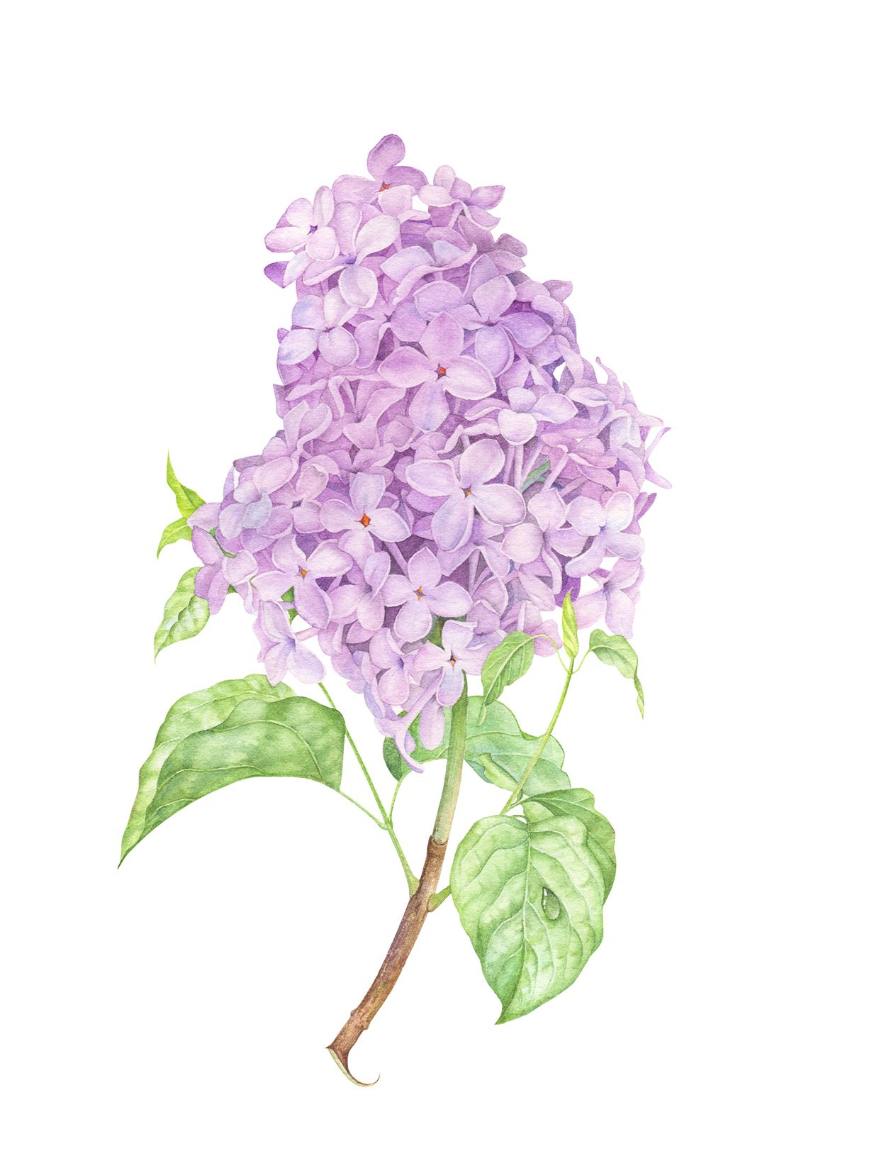 Lilac Botanical Illustration With Watercolor Lilac Painting