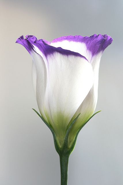 ~~lisianthus by vernon.hyde~~a little harder to grow and smaller  delicate flowers