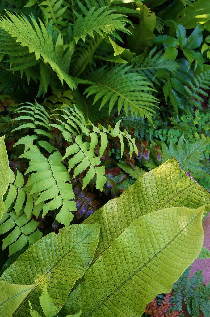 Ferns (Adiantum, Blechnum) (1) | Flickr - Photo Sharing!