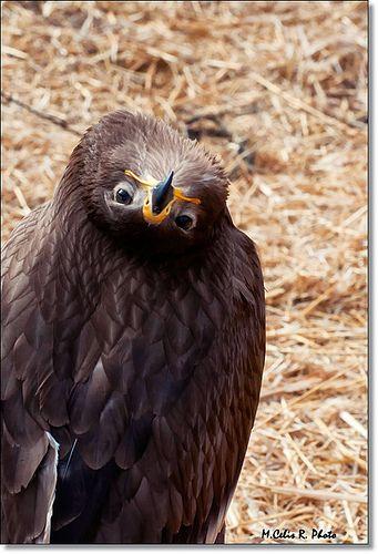 Águila. Eagle