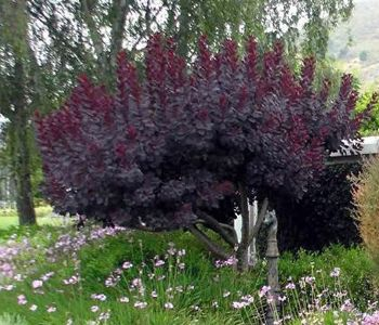 cotinus royal purple pruned as small tree cotinus. Black Bedroom Furniture Sets. Home Design Ideas
