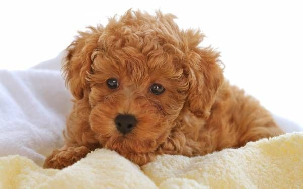 Curly Hair Dog Breeds Cute Dogs Images Toy Poodle Puppy Poodle Dog