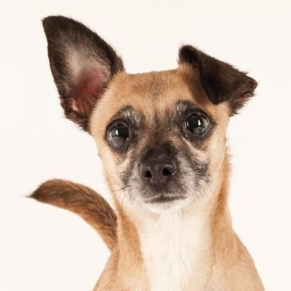 Dogs Adoption Animal Rescue Chihuahua