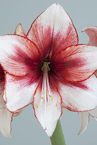 "Amaryllis cultivar ""Temptation"""