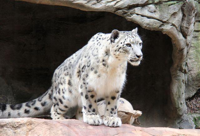 Male Snow Leopard Khumbu Has Arrived This Winter At Taronga Zoo Sydney To Partner Samara Taronga Conservation Soc Snow Leopard Names Snow Leopard Animals