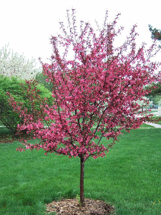 13 Of The Most Colorful Crabapple Trees For Your Yard Crabapple Tree Flowering Crabapple Fast Growing Trees