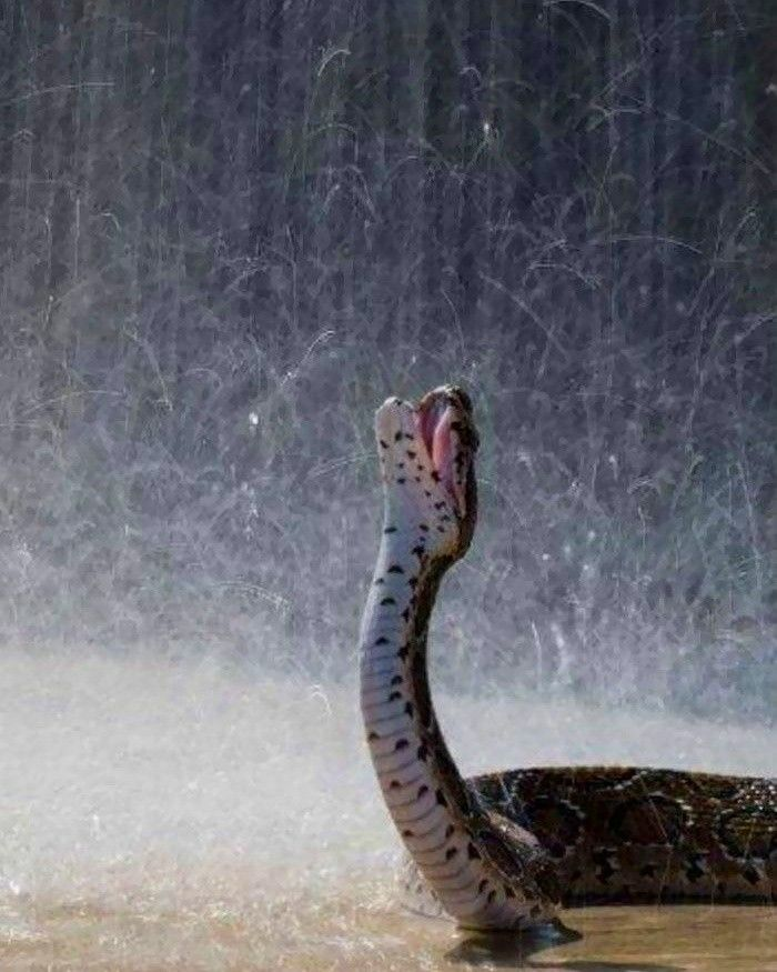 I Didn T Know Snakes Do This Snake Rain Drinking