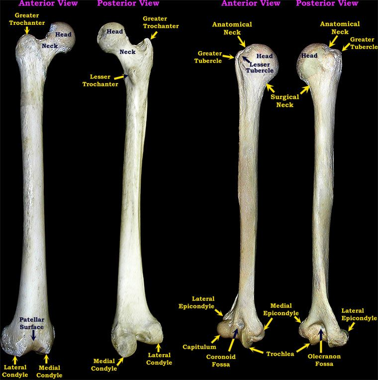 Humerus Bones Images Lables This Page Created And Maintained By