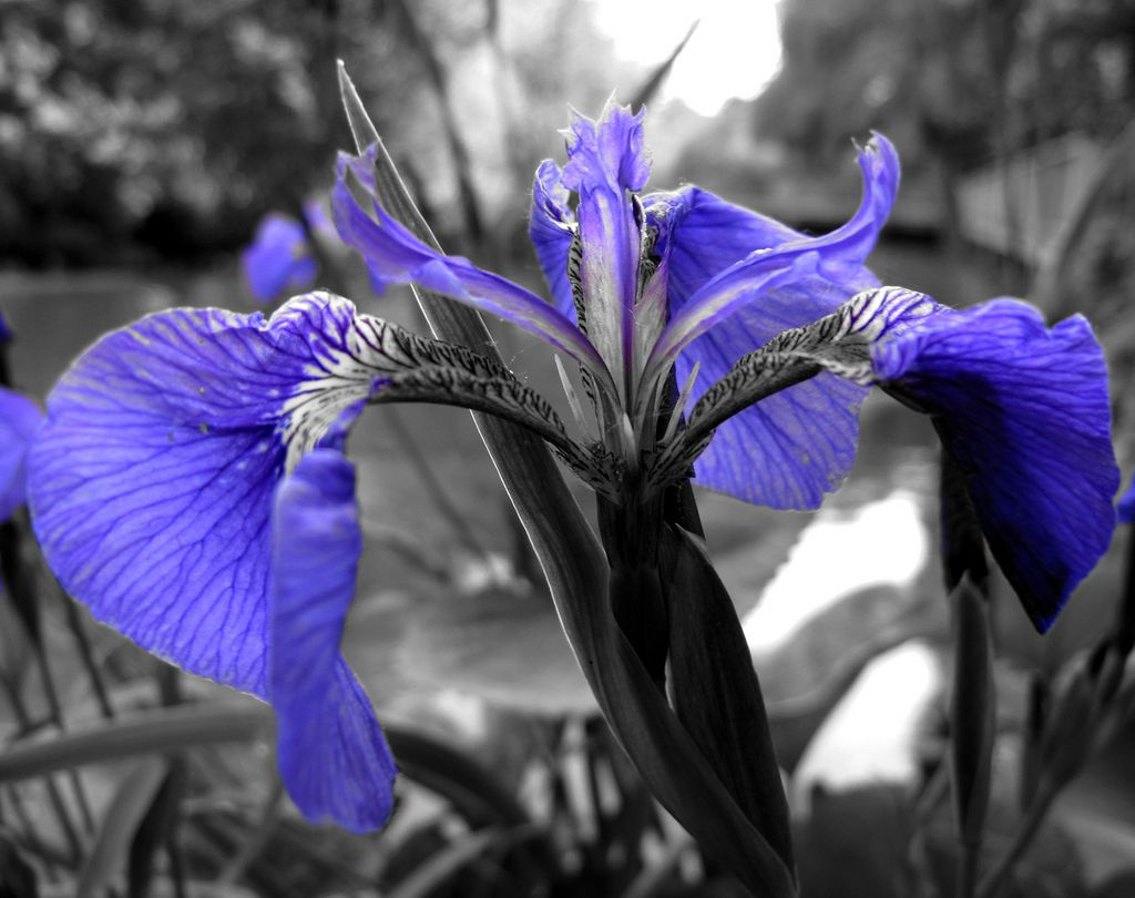 Iris black and white with blue colour splash iris black and white with blue paula wayne flickr dhlflorist Images