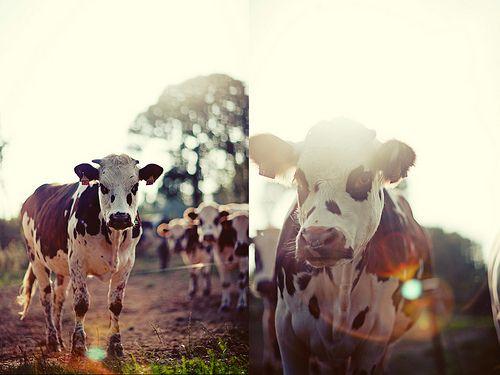 cow, light