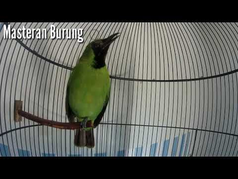 Pancingan Cucak Ijo Mini Agar Bunyi Burung Pancing
