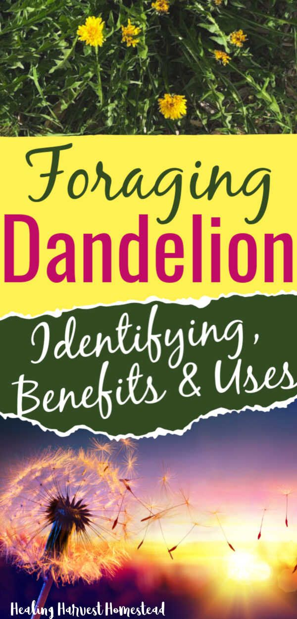 Identifying And Foraging Dandelions The Perfect Survival Food And Medicine Benefits And Uses All Posts Healing Harvest Homestead In 2020 Survival Food Foraging Dandelion Benefits