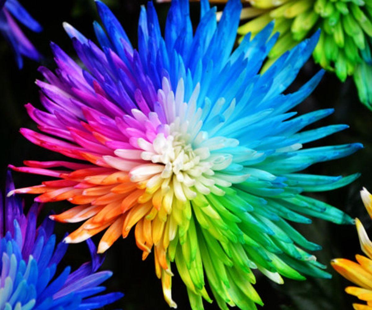 Pcs rainbow chrysanthemum flowers seeds home garden bonsai