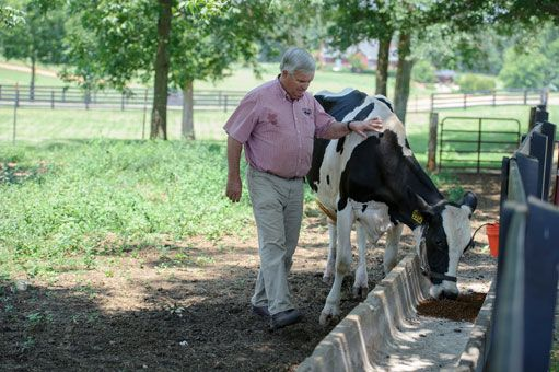 Jimmy Carter feeds on of the cows on the farm.  USATODAY.com Photos