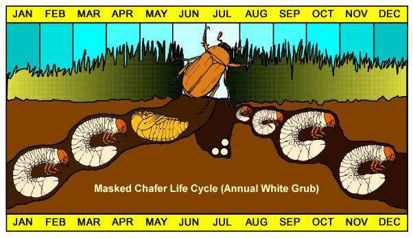 grub life cycle on long island ny