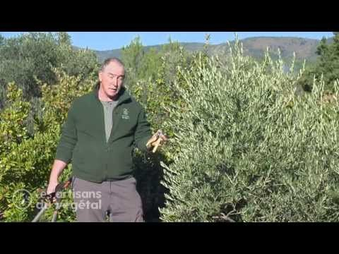 Comment tailler un olivier ? - YouTube   jardin   Taille olivier ...