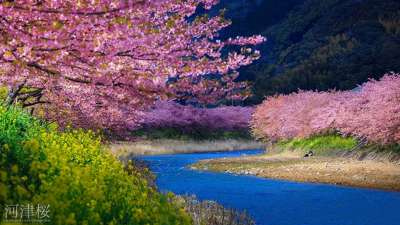 Kawazu Cherry Blossoms, Japan. By Jiratto