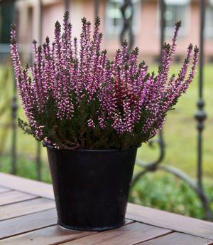 Les fleurs et plantes d 39 hiver pour jardini re jardini res les fleurs et plantes - Idee composition jardiniere exterieure ...