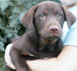 Adopt Gavinadopted On Labrador Retriever Dog Labrador Retriever