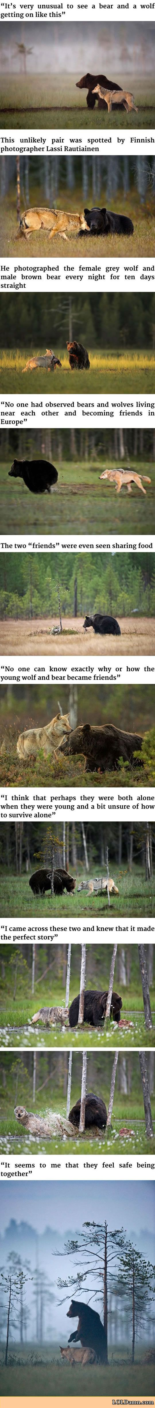 Photo of Photography Wildlife: Unusual Friendship Between Wolf And Bear.