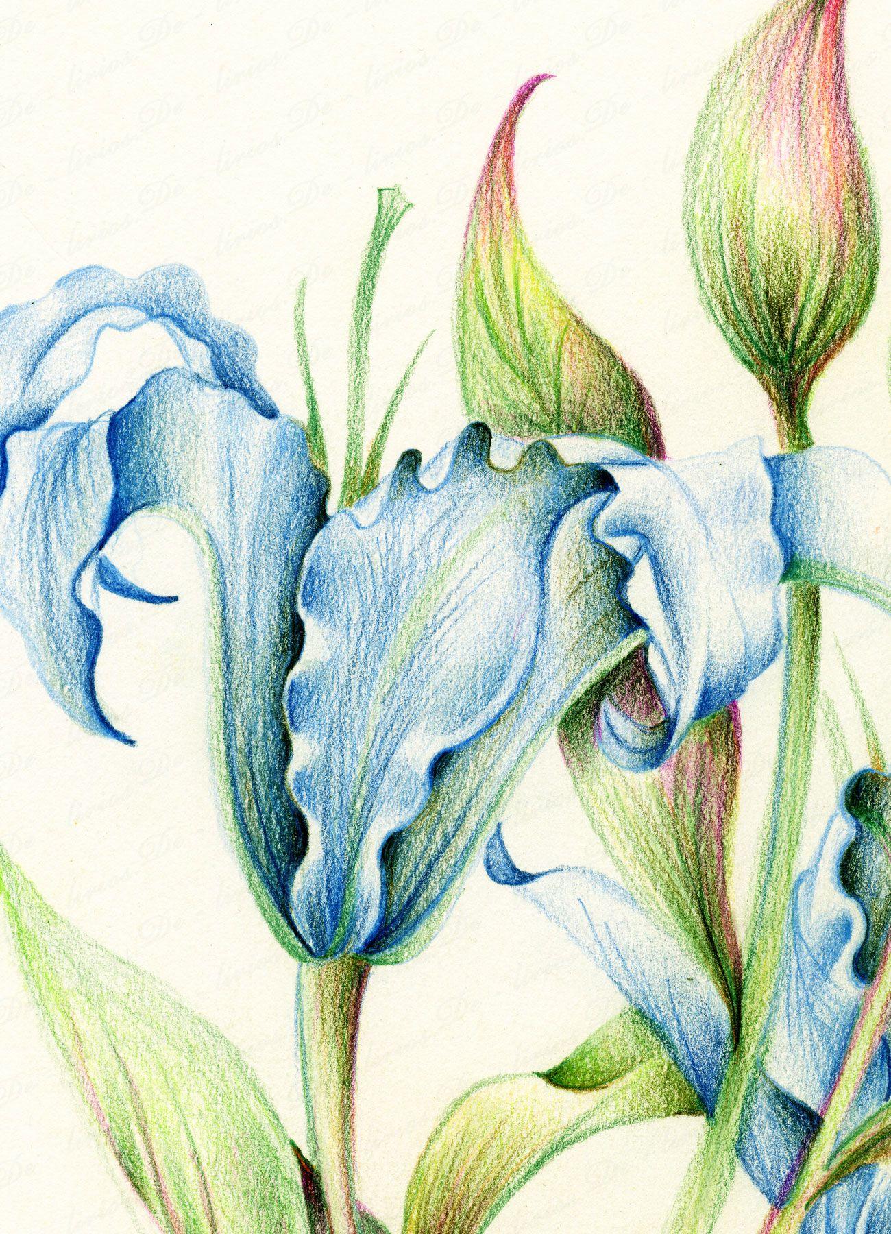 Diana arias de lirios dibujos pinterest l pices de - Diana de colores ...