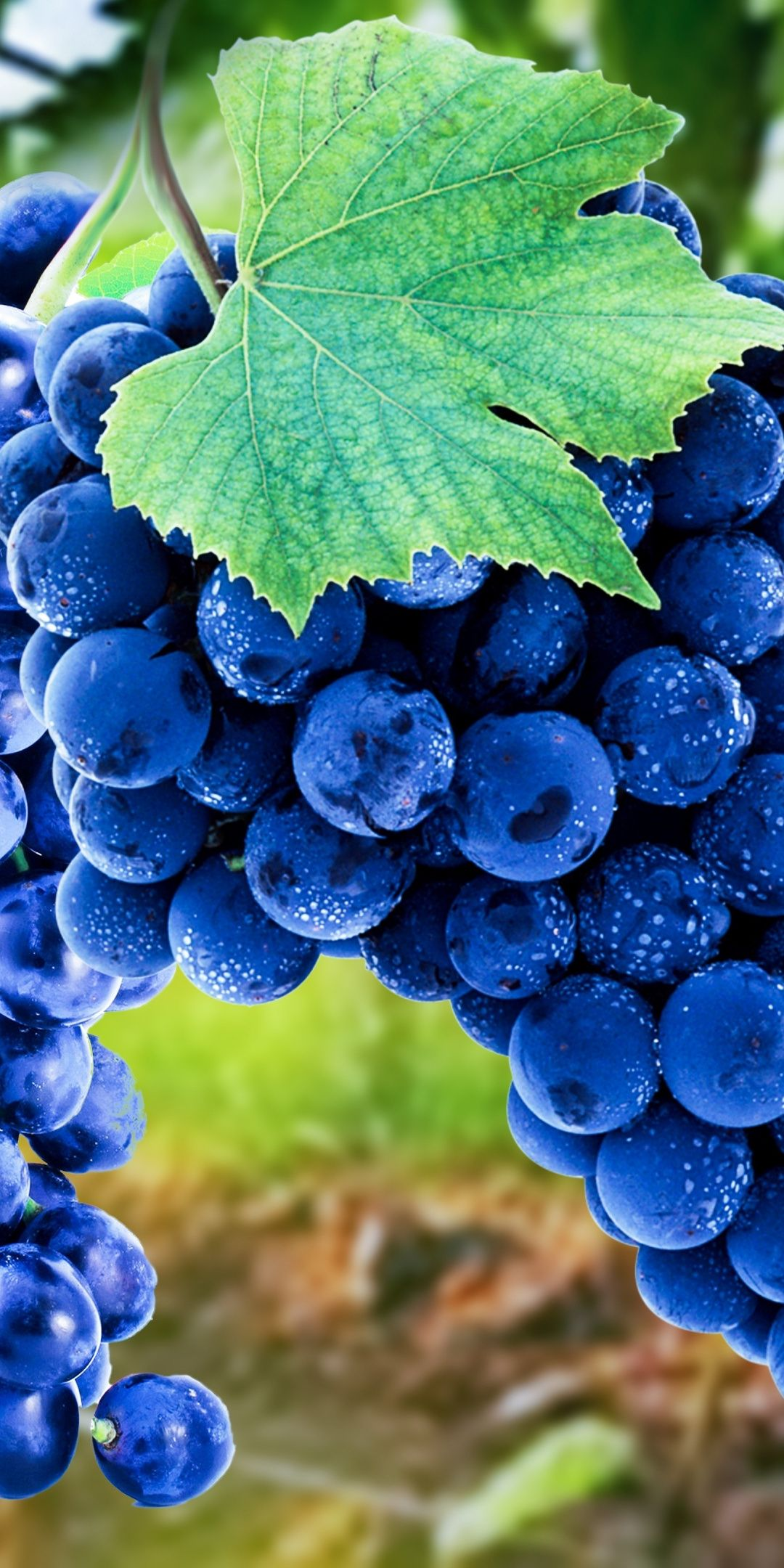 Grapes Blue Fruits Ripen 1080x2160 Wallpaper Grapes Fruit Photography Fruit Wallpaper
